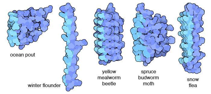 Antifreeze protein PDB101 Antifreeze Proteins