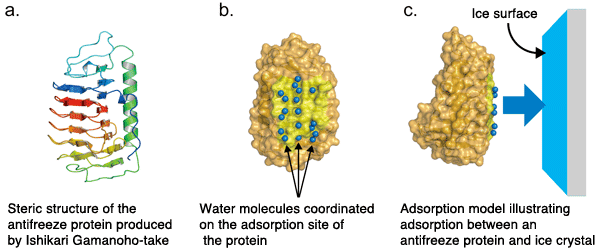 Antifreeze protein How a Fungiderived Antifreeze Protein Works Elucidation of