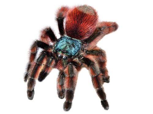 Antilles pinktoe tarantula Antilles Pink Toe Tarantula for Sale Reptiles for Sale