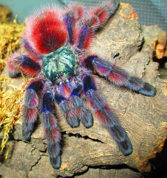 Antilles pinktoe tarantula Pinterest The world39s catalog of ideas