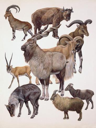 Antilocapridae Various Mammals of the Antilocapridae Family Photographic Print at