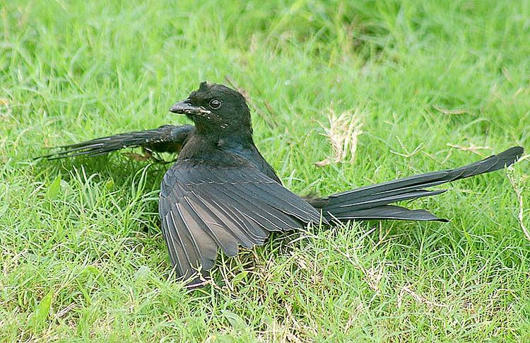 Anting (bird activity)