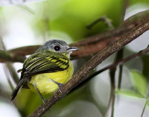 Antioquia bristle tyrant Surfbirds Online Photo Gallery Search Results