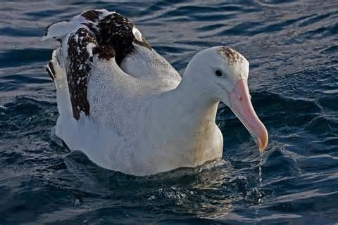 Antipodean albatross Antipodean albatross New Zealand Birds Online