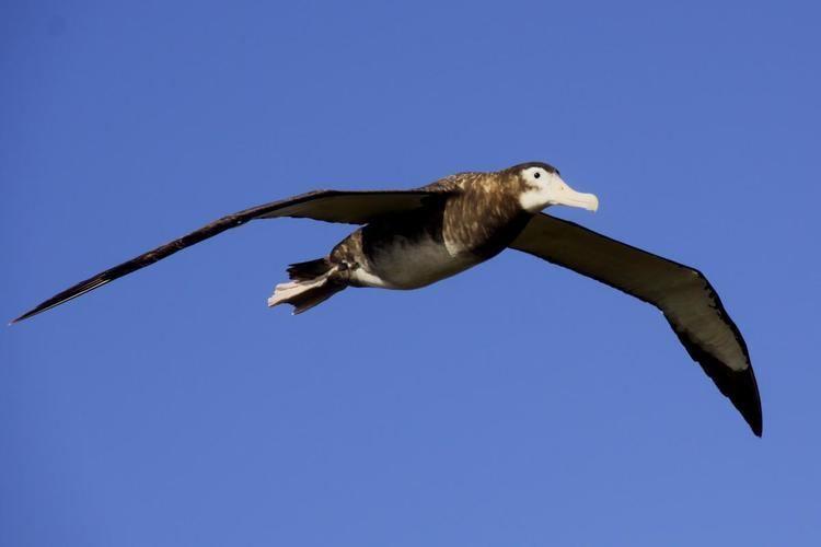 Antipodean albatross Antipodean albatross New Zealand Birds Online