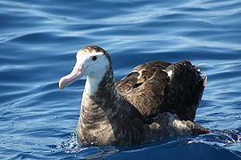 Antipodean albatross httpsuploadwikimediaorgwikipediacommonsthu