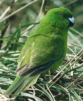 Antipodes parakeet TerraNature New Zealand ecology Antipodes Island parakeet