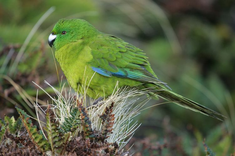 Antipodes parakeet Antipodes Island parakeet New Zealand Birds Online