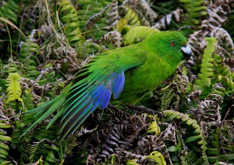 Antipodes parakeet nzbirdsonlineorgnzsitesallfiles1200485antipo