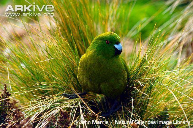 Antipodes parakeet Antipodes island parakeet videos photos and facts Cyanoramphus