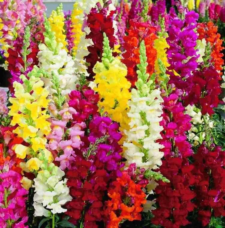Antirrhinum 100 Dragon Flower Antirrhinum Snapdragon Seeds Exotic Flower Seeds