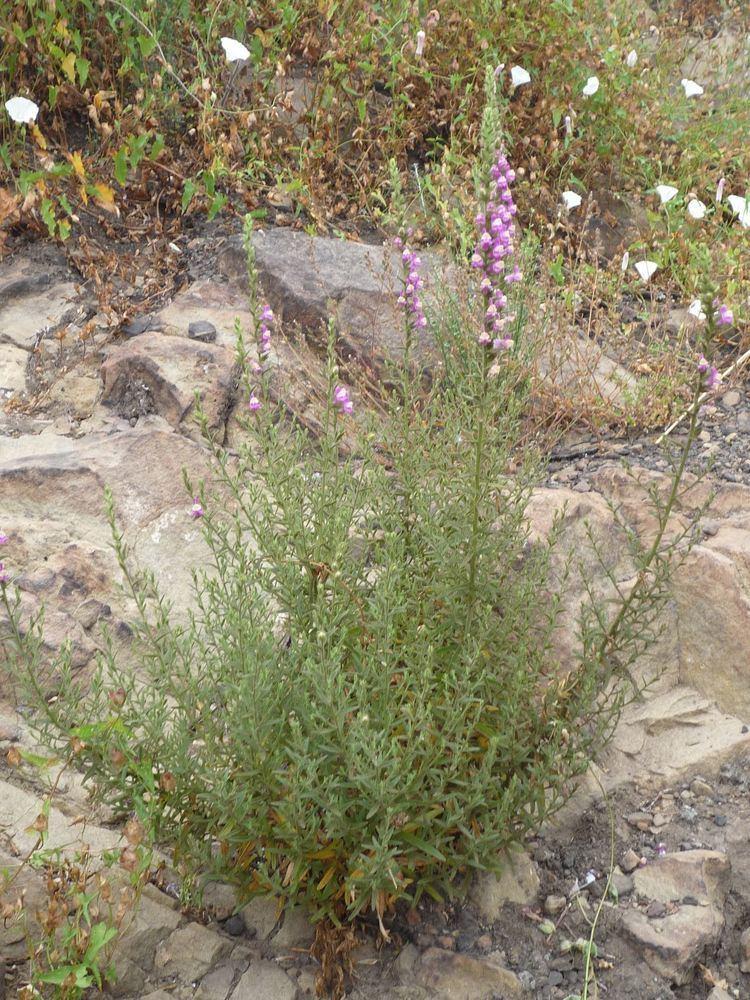 Antirrhinum multiflorum Antirrhinum multiflorum Wildflowers in Santa Barbara