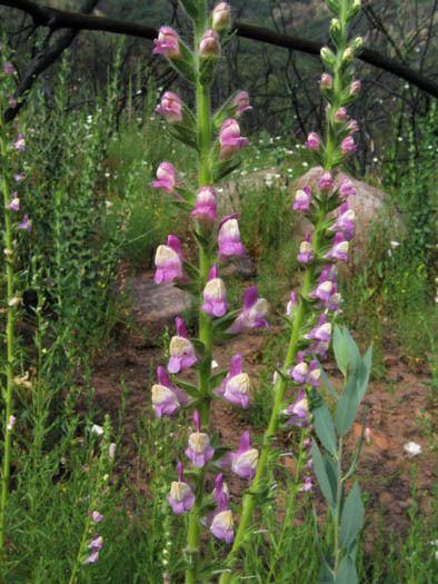 Antirrhinum multiflorum Wildflowers NPS SAMO NRA Antirrhinum multiflorum detail page