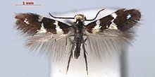 Antispila oinophylla httpsuploadwikimediaorgwikipediacommonsthu