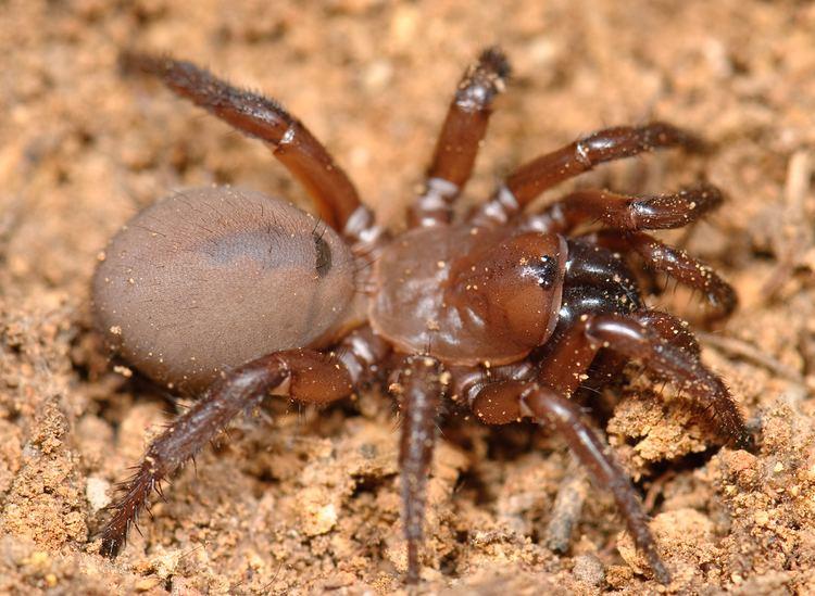 Antrodiaetus httpsuploadwikimediaorgwikipediacommonsaa