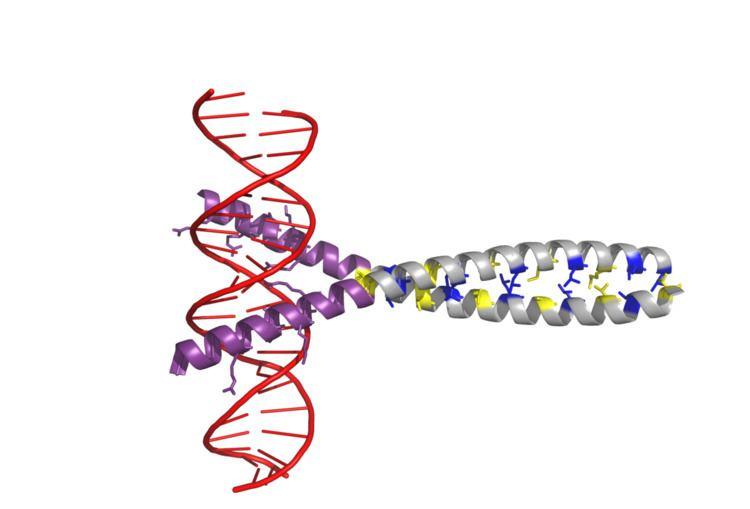 AP-1 transcription factor