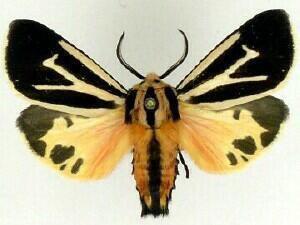 Apantesis Moth Photographers Group Apantesis nais 8171