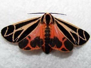 Apantesis Moth Photographers Group Apantesis phalerata 8169