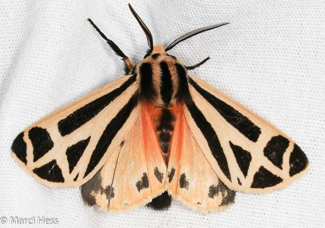 Apantesis Apantesis phalerata Harnessed Tiger Moth Hodges 8169