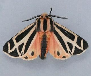 Apantesis Apantesis phalerata Harnessed Tiger Moth Discover Life