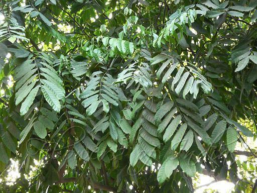 Aphanamixis polystachya Aphanamixis polystachya Pithraj Tree