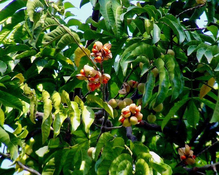 Aphanamixis polystachya Amoora rohituka syn Aphanamixis polystachya fruits Meliac Flickr