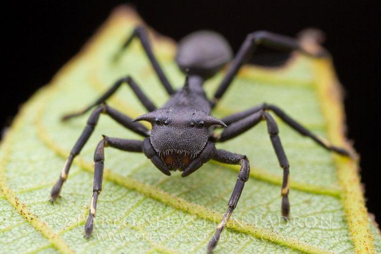 Aphantochilus Aphantochilus rogersi 3 Ecuador Pastaza Junio 2014 Aphant Flickr