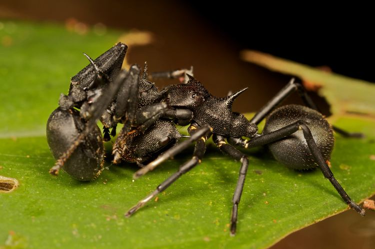 Aphantochilus Cephalotes Ant mimicking spider with prey Aphantochilus r Flickr