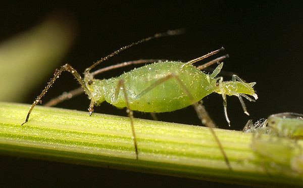 Aphid Aphid Wikipedia