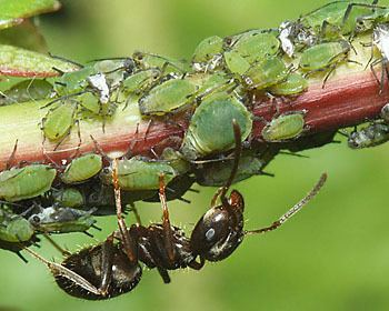 Aphis Aphis aphids identification images ecology