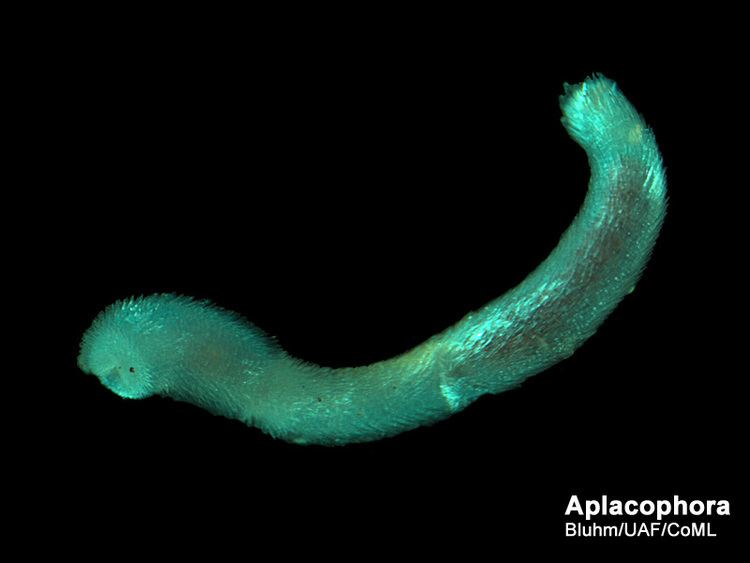 Aplacophora wwwarcodivorgseabottomAplacophoraAplacophora