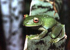 Aplastodiscus leucopygius httpsuploadwikimediaorgwikipediacommonsthu