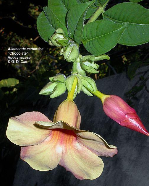 Apocynaceae Flowering Plant Families UH Botany
