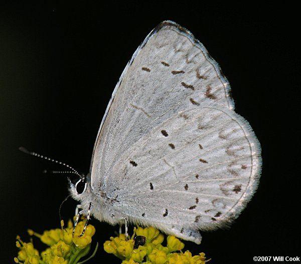 Appalachian azure wwwcarolinanaturecombutterfliesappyazure5775ajpg