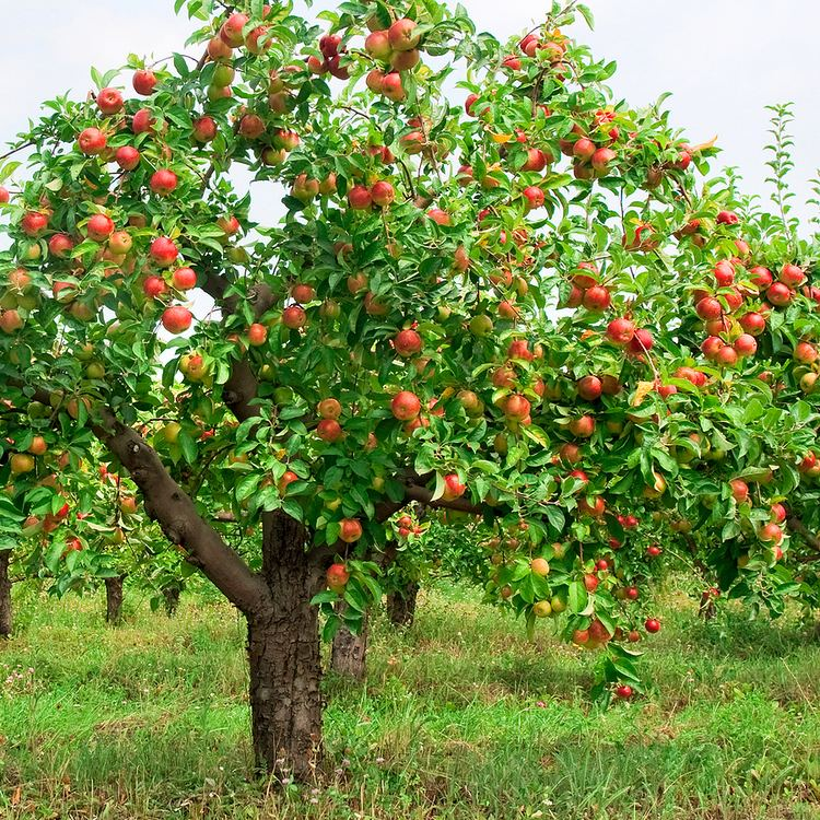 Apple How to Grow Apples Harvest to Table