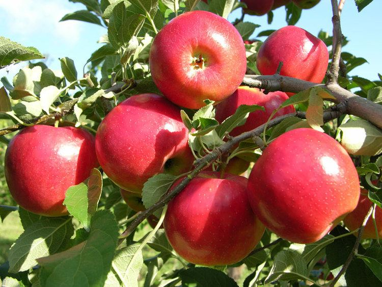 Apple Apple Trees For Sale Buy Apple Trees From Stark Bro39s