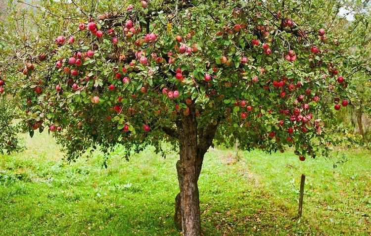 Apple 6 Tips For Growing Organic Apples At Home Rodale39s Organic Life