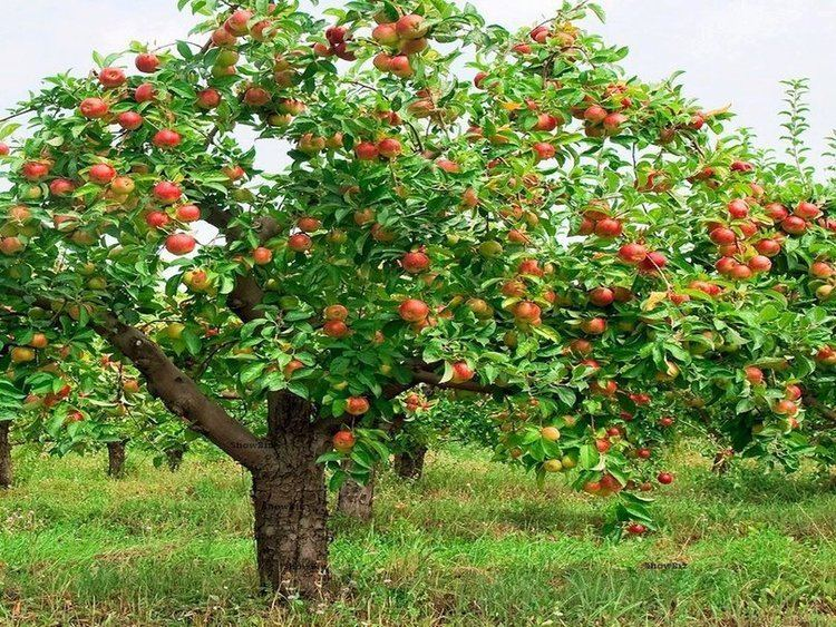 Apple Apple Tree Graft 4 Plant Propagation Methods
