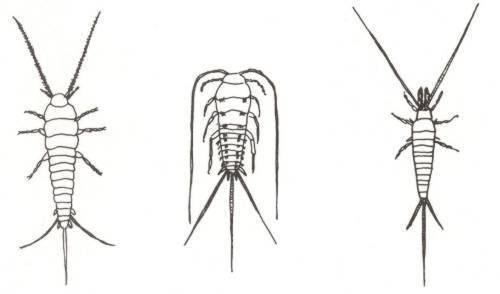 Apterygota REGNUM ANIMALIA Subregnum Metazoa del 8 Arthropoda D Insecta I