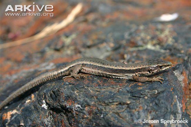 aran-rock-lizard-6cdfc5f3-3b0f-40f4-95be