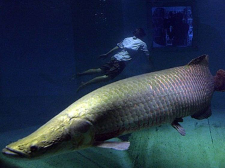 Arapaima Arapaimas Arapaima Pictures Arapaima Facts National Geographic