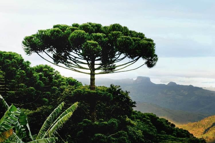 Araucaria 1000 images about Araucaria Trees on Pinterest Argentina Pine