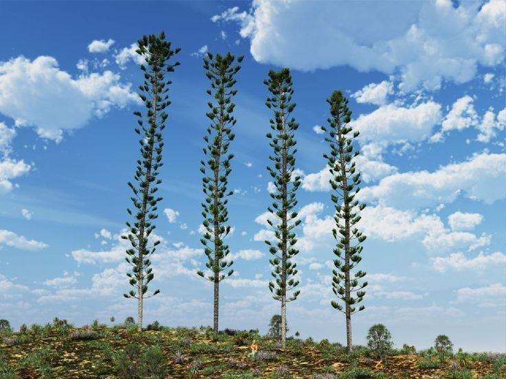 Araucaria 1000 images about Araucaria on Pinterest Argentina Pine and Search
