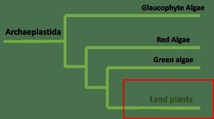 Archaeplastida
