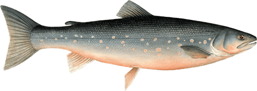 Arctic char Arctic Char Recommendations from the Seafood Watch Program