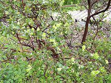Arctostaphylos viridissima httpsuploadwikimediaorgwikipediacommonsthu