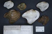 Arcuate pearly mussel httpsuploadwikimediaorgwikipediacommonsthu
