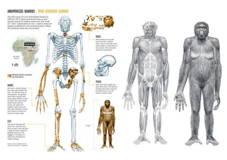 Ardipithecus CLASS NOTES The Place of Ardipithecus Human Evolution Past and