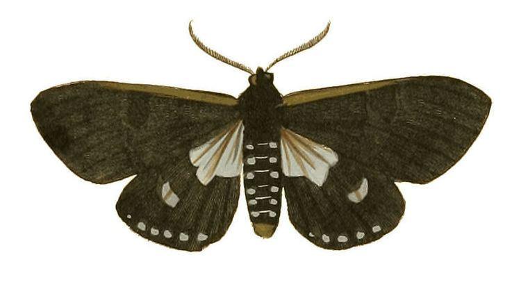 Are (moth)