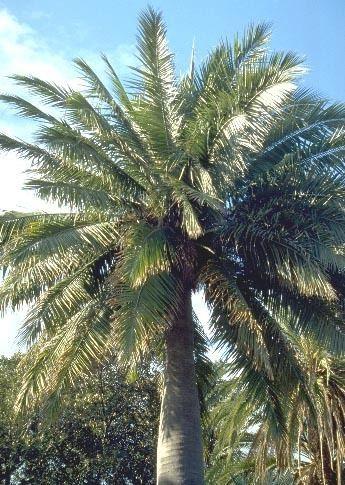 Arecaceae Arecaceae Palmae